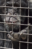 Caged gorilla. A sad gorilla in a cage asking for food Royalty Free Stock Images
