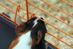 Caged guinea pig. A close-up of a caged guinea pig Royalty Free Stock Photo