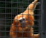 caged guld- liontamarin Royaltyfri Bild