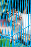 The caged hamsters Royalty Free Stock Photography