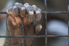 Caged hand. Orangutans hand grasping on a chain linked fence royalty free stock image