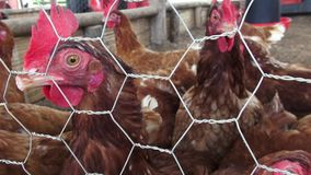 Caged Hens, Chickens, Animal Rights stock footage