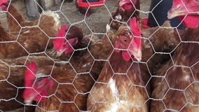 Caged Hens, Chickens, Animal Rights stock video footage