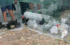 Caged hens and chickens to be sold to the market Royalty Free Stock Photo