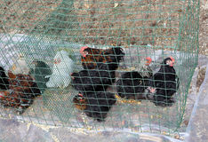 Caged hens and chickens to be sold to the market Royalty Free Stock Image
