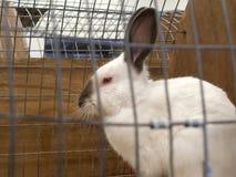 Caged Himalayan rabbit. Closeup image of a caged Himalayan rabbit Stock Photography