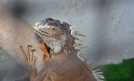 Caged Iguana Stock Photo