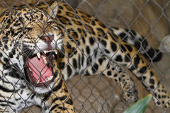 Caged Jaguar Growling Stock Images
