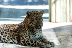 Caged Leopard Royalty Free Stock Images