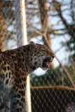 Caged leopard Royalty Free Stock Photos