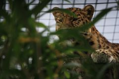 Caged leopard. In the zoo Stock Image