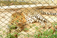 Caged leopard at zoo Royalty Free Stock Images