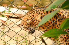 Caged leopard at zoo Stock Photo