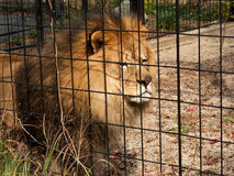 Caged Lion Stock Images