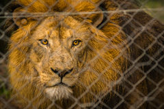 caged lion Royaltyfri Fotografi