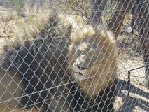 Caged Lions Stock Image