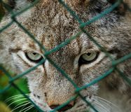 caged lodjur Royaltyfri Bild