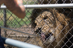 A caged male lion with a mane is fed meat on a fork by a keeper through a fence. Royalty Free Stock Photography