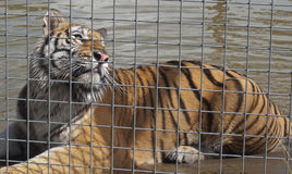 A Caged Male Tiger. A beautiful male tiger behind a wire fence in captivity Royalty Free Stock Photo