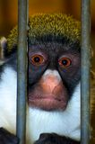 Caged Monkey. Monkey behind bars, i've been framed Royalty Free Stock Photo
