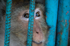Caged monkey. Monkey in a cage, looking out through the bars Stock Photos