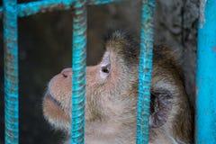 Caged monkey. Sad monkey behind cage in zoo Royalty Free Stock Photo