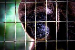 Caged monkey seeking for freedom Royalty Free Stock Photo