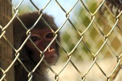 Caged Monkey Royalty Free Stock Photos