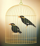 Caged myna birds. Editable  illustration of a pair of caged hill myna birds made with gradient meshes Stock Photography