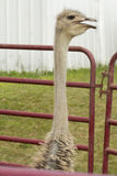 Caged Ostrich Stock Photo