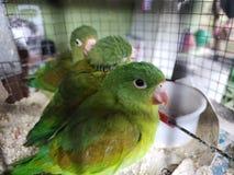 Caged papegojor arkivbild