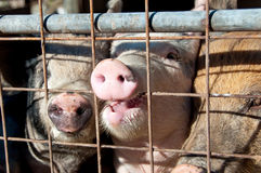 Caged pigs Royalty Free Stock Photography