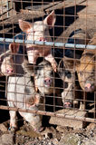 Caged pigs Royalty Free Stock Photo