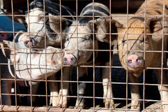 Caged pigs Royalty Free Stock Image
