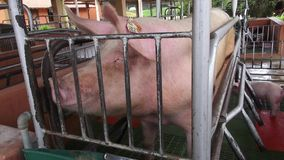 Caged Pigs, Animal Abuse stock footage