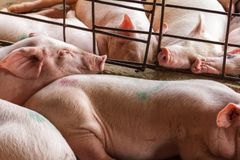 Caged pigs cram together in Nga Bay, Vietnam Stock Photography
