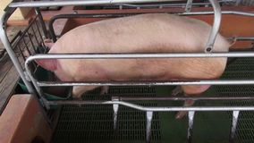 Caged Pigs, Sows, Swine. Stock video of caged pigs stock video