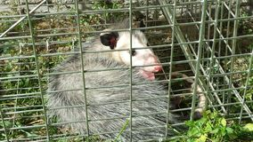 Caged possum Stock Photo
