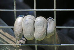 Caged primates hand. Hand of caged primate grabbing on to wire cage from inside royalty free stock photo