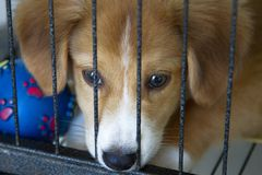 Caged puppy lonely. Close up shot of a Labrador breed puppy royalty free stock photography