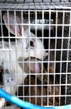 Caged rabbits. Rabbits, kept for meat, crammed into a small cage in Crete Royalty Free Stock Photography