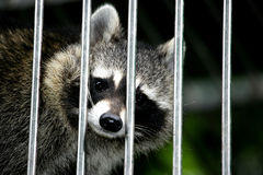 Caged raccoon Stock Photo