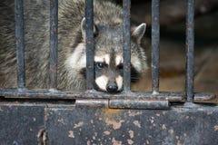 caged raccoon Arkivfoto