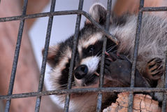 Caged Raccoon. At the Henry Doorly Zoo in Omaha, Nebraska peering out through the bars Royalty Free Stock Image