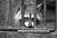 Caged raccoonm Royaltyfri Bild