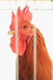 Caged rooster Royalty Free Stock Images