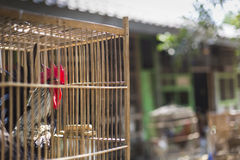 Caged rooster ready to sell at street market in Yogjakarta, Indo Stock Images