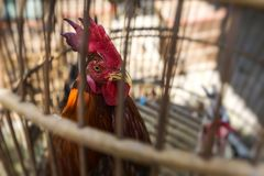 Caged rooster ready to sell at street market in Yogjakarta, Indo Royalty Free Stock Photos