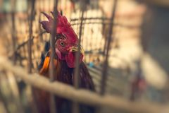 Caged rooster ready to sell at street market in Yogjakarta, Indo Stock Photos