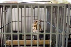 Caged sångfågel, trast, för att jaga som kallar Fotografering för Bildbyråer